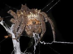 Malagasy Bark spider (Caerostris sp.), Vohimana reserve, Madagascar