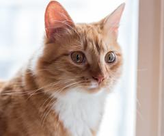 Katze Kaffe (mirekfalevic) Tags: cats cat katze katzen vilnius gingercat catscafe katzenkaffe