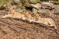 JaxZoo_2-27-15-7771-Edit-2 (RobBixbyPhotography) Tags: animals zoo florida lion jacksonville cubs