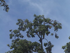 Flying Foxes in a Tree Colombo
