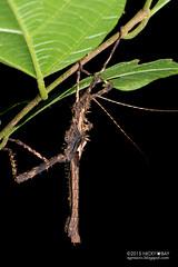 Stick insect (Phasmatodea) - DSC_3537 (nickybay) Tags: macro insect stick sabah phasmid phasmatodea phasmida tawauhill