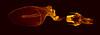 Eupsilia_n, Jan 30, 1990 (Macroscopic Solutions) Tags: macro lepidoptera micro noctuidae noctuinae macropod microscope animalia arthropoda invert genitalia insecta pterygota photomacrography photostacking focusstacking xylenini eupsilia noctuoidea taxonomy:class=insecta taxonomy:order=lepidoptera taxonomy:kingdom=animalia taxonomy:phylum=arthropoda taxonomy:subclass=pterygota taxonomy:family=noctuidae taxonomy:superfamily=noctuoidea taxonomy:subfamily=noctuinae xylenina taxonomy:tribe=xylenini taxonomy:subtribe=xylenina taxonomy:genus=eupsilia macroscopicsolutions