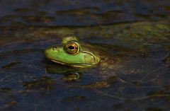 Bullfrog (ashockenberry) Tags: amphibian frog swamp marsh bullfrog naturephotography ontarionature ontariowildlife