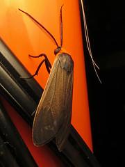 Yellow-collared Scape Moth (magarell) Tags: insect moth nj plainsboro plainsboropreserve middlesexcounty yellowcollaredscapemoth cissepsfulvicollis njas newjerseyaudubon