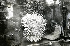 Sea urchins in a tank (PUC Special Collections) Tags: california aquarium coastal mendocino 1960s norcal 1970s biology tidepools puc albion seaurchin seaurchins estuaries mendocinocounty pacificunioncollege albionfieldstation albionbiologicalfieldstation pucbiologydepartment