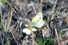Napthalis iole --  Dainty Sulphur Butterfly 0600 (Tangled Bank) Tags: park county wild beach nature butterfly insect natural florida palm lepidoptera shore area sulphur preserve dainty delray iole 0600 napthalis