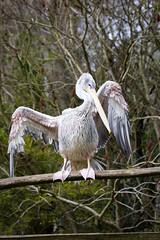 Pelican (Cloudtail the Snow Leopard) Tags: pelikan zoo amneville tier animal vogel bird pelican pelecanidae pelecanus