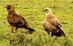 Aigle ravisseur - Tawny Eagle (charbonjoh) Tags: tanzania lakendutu aigleravisseur tawnyeagle aquilarapax largebirds