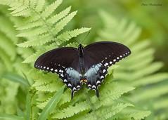 Spicebush Swallowtail (sbuckinghamnj) Tags: newyork butterfly swallowtail spicebushswallowtail doodletown