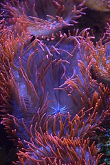 under the sea (queenbeaphoto@att.net) Tags: coral sealife aquatic seaanemone bymelissafrybeasley
