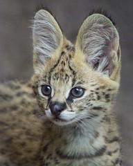 Mkali's Baby Picture (Penny Hyde) Tags: babyanimal cat kitten sandiegozoo serval servalcub