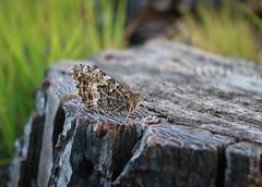 Butterfly on Upton Heath (arripay) Tags: upton heath dwt poole dorset butterfly grayling