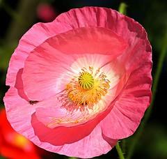 pink poppy in my garden (sabrina. G) Tags: mohnblte pink garten makro sommer details poppy