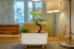 Neues Zuhause fr den Bonsai (Jan mrik) Tags: b tree nature canon eos little natur indoor innen bonsai baum kleiner wohnzimmer 6d cmrk cmarik