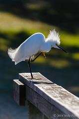 Scratch That Itch (BFS Man) Tags: brazosbend d300 nikon texas bird egret snowyegret statepark