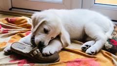 Charlie 8.5 weeks (Mark Rainbird) Tags: uk england dog canon puppy unitedkingdom retriever charlie binfield powershots100 popeswood