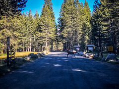 Deer crossing at Tuolumne Backpacker's Camp (Claudine) Tags: yosemitenationalpark california unitedstates us yosemite tuolumnemeadows lembertdome tenayalake tuolumnemeadowsgeneralstore pctresupply jmtresupply