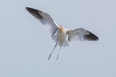American Avocet (Peter Stahl Photography) Tags: americanavocet shorebird cookinglake alberta fallmigration