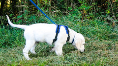 Charlie walking in new 'Perfect Fit' harness 12.5 weeks (Mark Rainbird) Tags: uk england dog canon puppy unitedkingdom retriever charlie harness ufton powershots100 uftonnervet