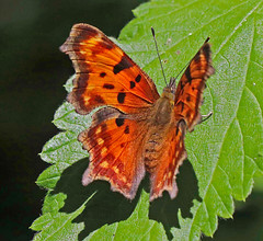 CAD0001714a (jerryoldenettel) Tags: butterfly insect nm comma cowles windsortrail 2016 nymphalidae polygonia nymphalinae satyrcomma polygoniasatyrus sanmiguelco