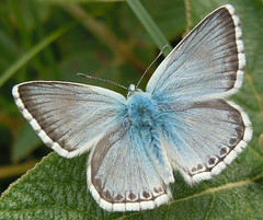 Chalkhill Blue butterfly, Kent, July 2016 (roger.w800) Tags:
