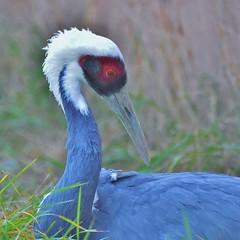 White-napped Crane (stevelamb007) Tags: crane whitenappedcrane bird cranefoundation stevelamb nikon d7200 sigma 150600mmcontemporary