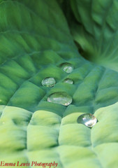 T82A5268 (Emsey!) Tags: waterdroplets water droplets green leaf nature