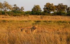 Morning Stroll II (www.mattprior.co.uk) Tags: adventure adventurer journey explore experience expedition safari africa southafrica botswana zimbabwe zambia overland nature animals lion crocodile zebra buffalo camp sleep elephant giraffe leopard sunrise sunset