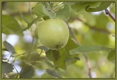 Green (LavenderMillie) Tags: flora dof depthoffield light bokeh alberta outdoor color fruit apple