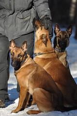 DSC_0090 (IN CANIS SPERAMUS) Tags: belgianshepherd malinois dog dogtraining puppy servicedog dogtrainer incanissperamus