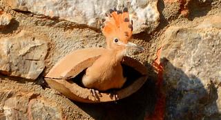 Jonge Hop/Hoopoe in het nest