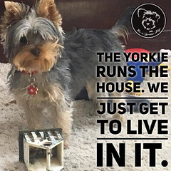 Click love if its true at your house too (itsayorkielife) Tags: yorkiememe yorkie yorkshireterrier quote