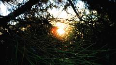 At-First-Light (ClvvssyPhotography) Tags: morning pine trees nikon camera sunlight photography green bristles sky light daylight iso 125 focal length 98 flickr beauty hd