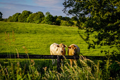 2016_0707_0183.jpg (cogy) Tags: cow cows kilcock kildare ireland gossiping fence