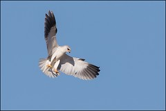 Elanion blanc (Elanus caeruleus) (Laurent Cornu) Tags: aot 2016 7dii canon500f4 multiplicateur14 lanionblanc elanuscaeruleus blackwingedkite rapace blanc dordogne afft trpied oiseauenvol oiseau