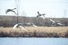 DSC_1419 (KevinYMa) Tags: bird nature tundraswan