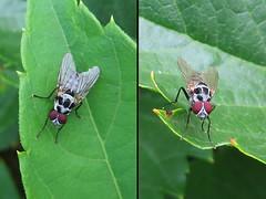 Anthomyie pluviale (Anthomyia pluvialis) (Didier Auberget Photographie) Tags: macro insecte diptre fly mouche anthomyia mouchedespluies anthomyiapluvialis anthomyiepluviale insecta neoptera noptre diptera anthomyiidae