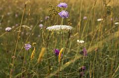 wildflowers (HHH Honey) Tags: sonya7rii salisburyplain wiltshire wildflowers grasses golden sigma sigma50mmdgmacro scabious umbelliferae knapweed