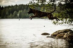 IMG_8198 (jabberjinx) Tags: hollandse hollandseherder holsku hollanninpaimenkoira hh dutchshepherd dutchie brindle beach dogbeach