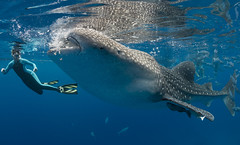 Close encounter (merbert2012) Tags: orange whaleshark oslob philippines nature wildlife ocean fun travel aquaticahousing nikond800 fish fisheye shark animal underwater scuba diving wellbeachdiveresort pacific