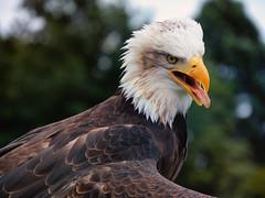Eagle (michaelbeyer_hh) Tags: weiskopfseeadler eagle