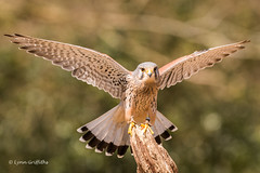 Kestrel (Falco tinnunculus) D75_3523.jpg (Mobile Lynn) Tags: birdsofprey kestrel birds nature captive fritham england unitedkingdom gb coth specanimal greatphotographers ngc coth5 npc