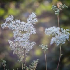 Flower Painting (*Capture the Moment*) Tags: 2016 backlight bloom blossom blten bokeh gegenlicht pflanzen sonne sonnenuntergang sonynex7 sun sunset trioplan28100neo wetter blossoms weiss white