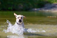 AP1608-0589 Ik kom er aan (Jan-Willem Adams) Tags: adamsphotography buddy dog erkemederstrand fordjw gelderland honden janwillemadams nederland netherlands