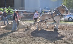 2016 Durham CT Fair (caboose_rodeo) Tags: 1005 drafthorsepulling drafthorse belgians dust backlit