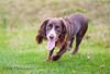 Lola (philreed89) Tags: spaniel cockerspaniel dog nikon d300s lola workingdog