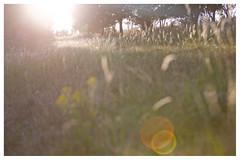 Sptsommer (memories-in-motion) Tags: eifel vulkaneifel sptsommer abendlicht sonnenuntergang gegenlicht backlight mood stimmung warm people personen gras wiese meadow grass flares canon 5d natur nature old analog trees bume landschaft landscape low contrast bokeh dof