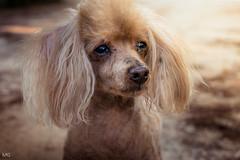 Old dog Bruno (akilika MG) Tags: poodle caniche apricot perro viejo old mascota pet dog