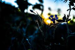 Blue Sunset (wolfi8723) Tags: blue sunset sun flower field n natur outdoor outside