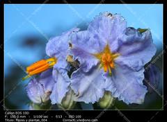 Flower black nightshade (__Viledevil__) Tags: black nightshade little tomatoes solanum nigrum pistils moorish stamens flower petals grass blue dew